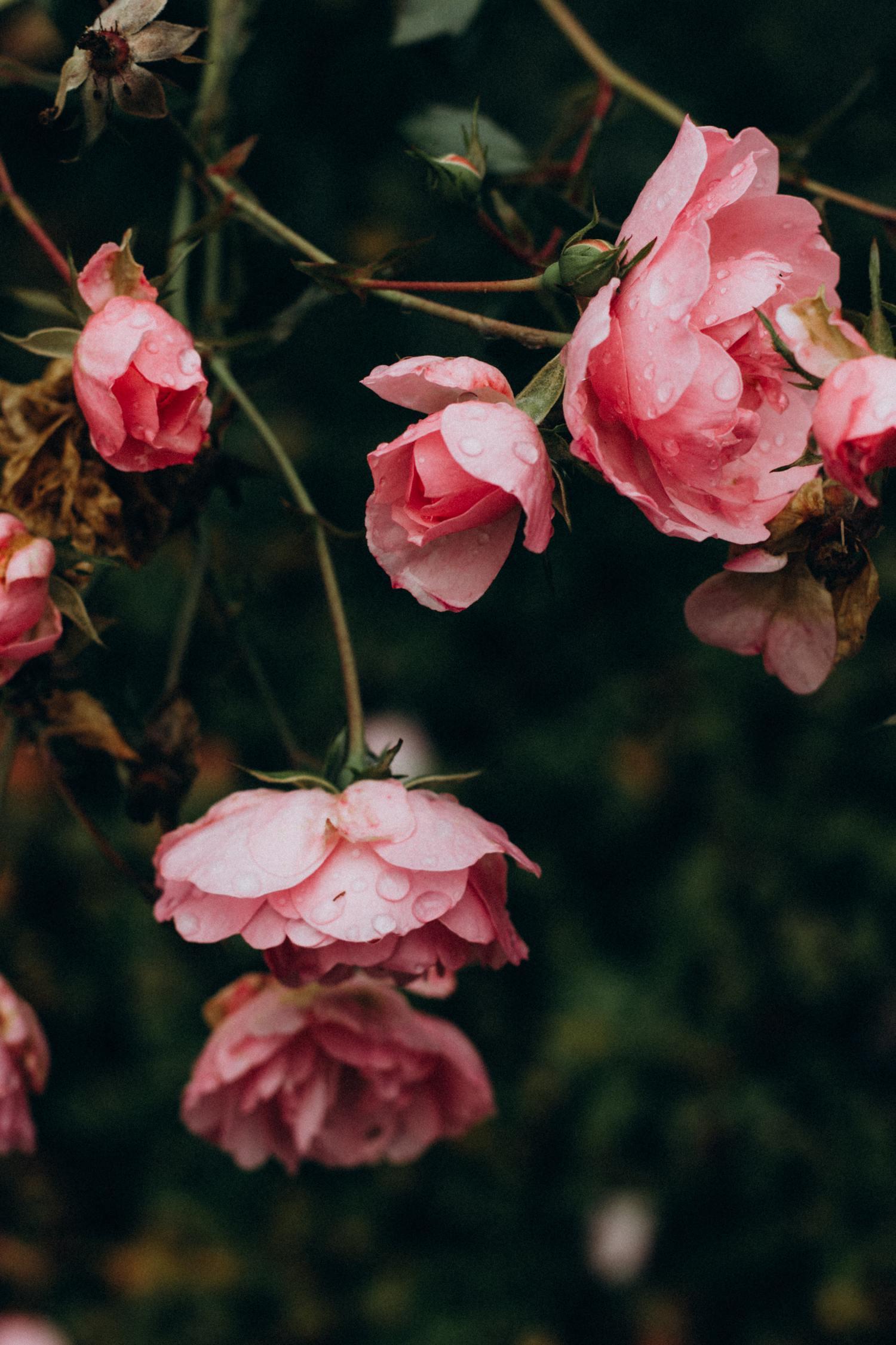 rosas lluvia