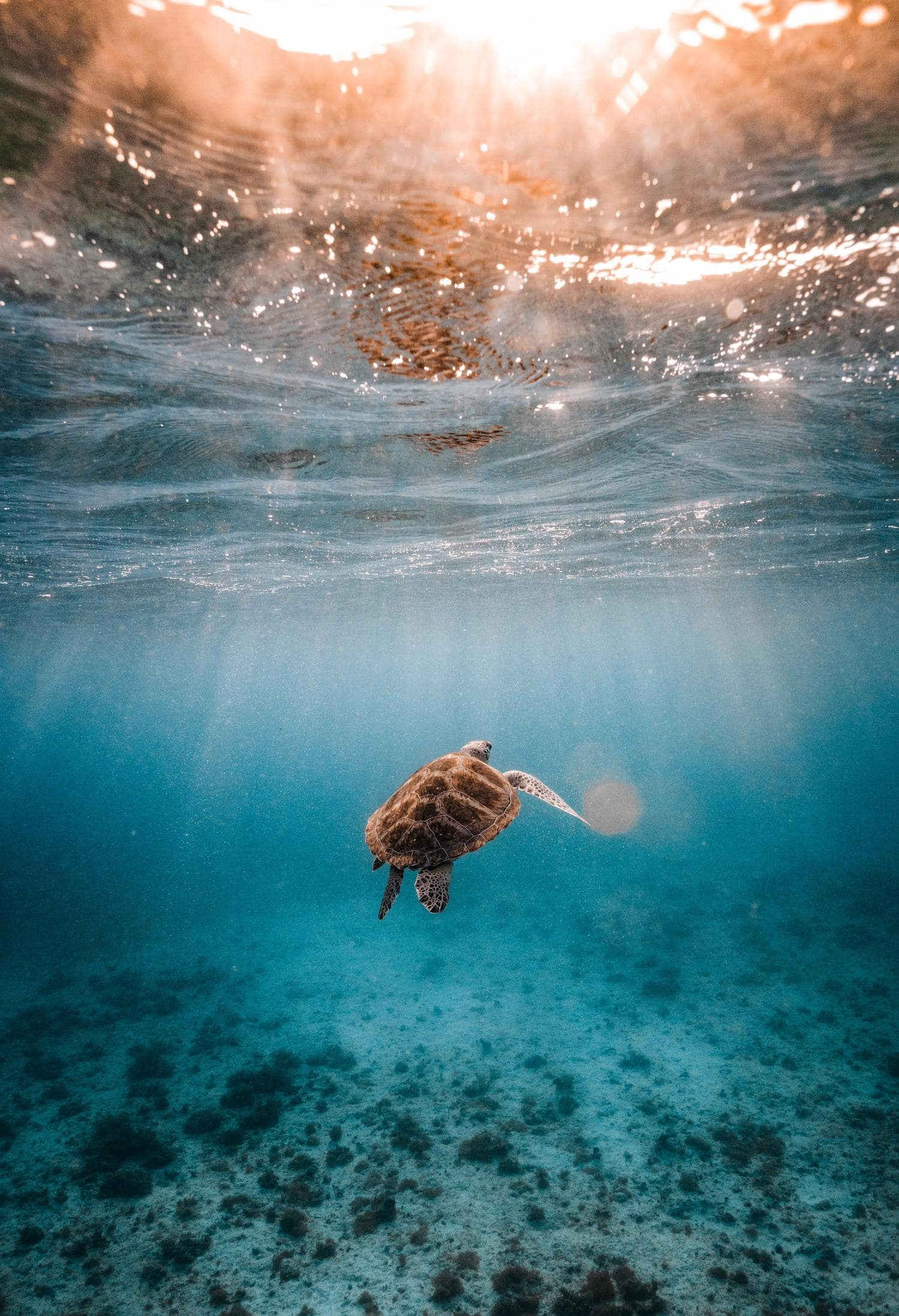 Fotografía submarina de tortuga