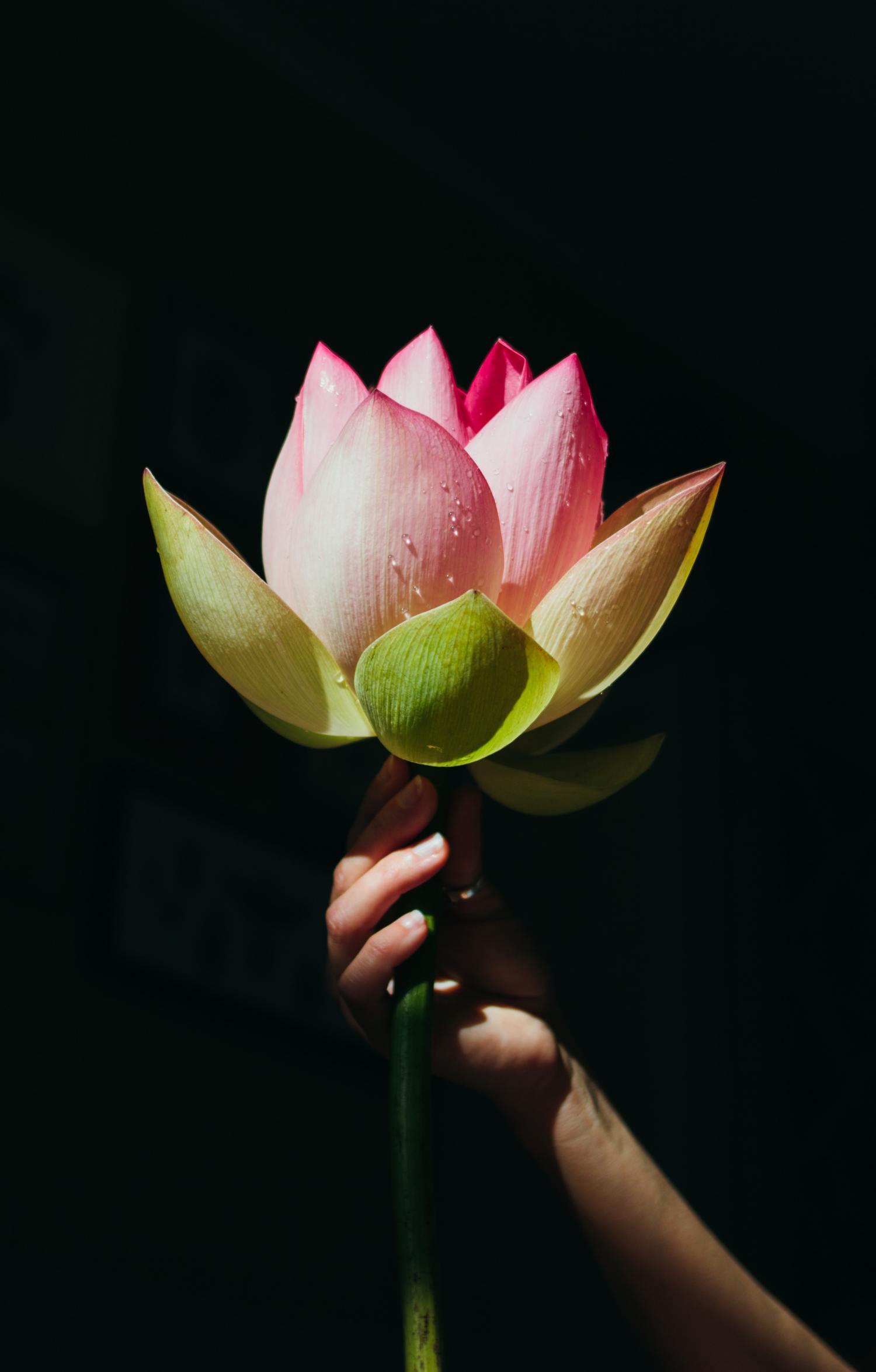 Flor con fondo negro sujeta con mano