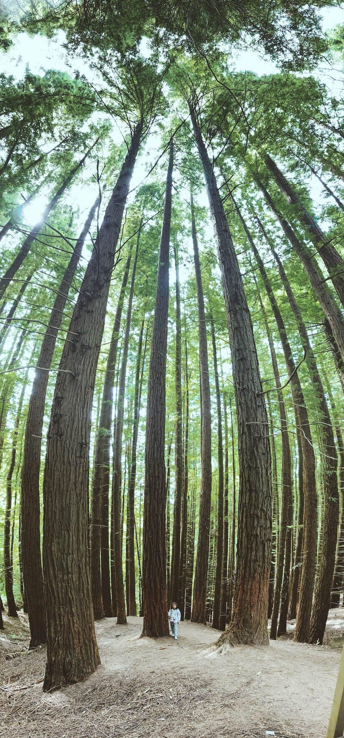 Panorámica vertical en bosque de secuoyas realizada con móvil