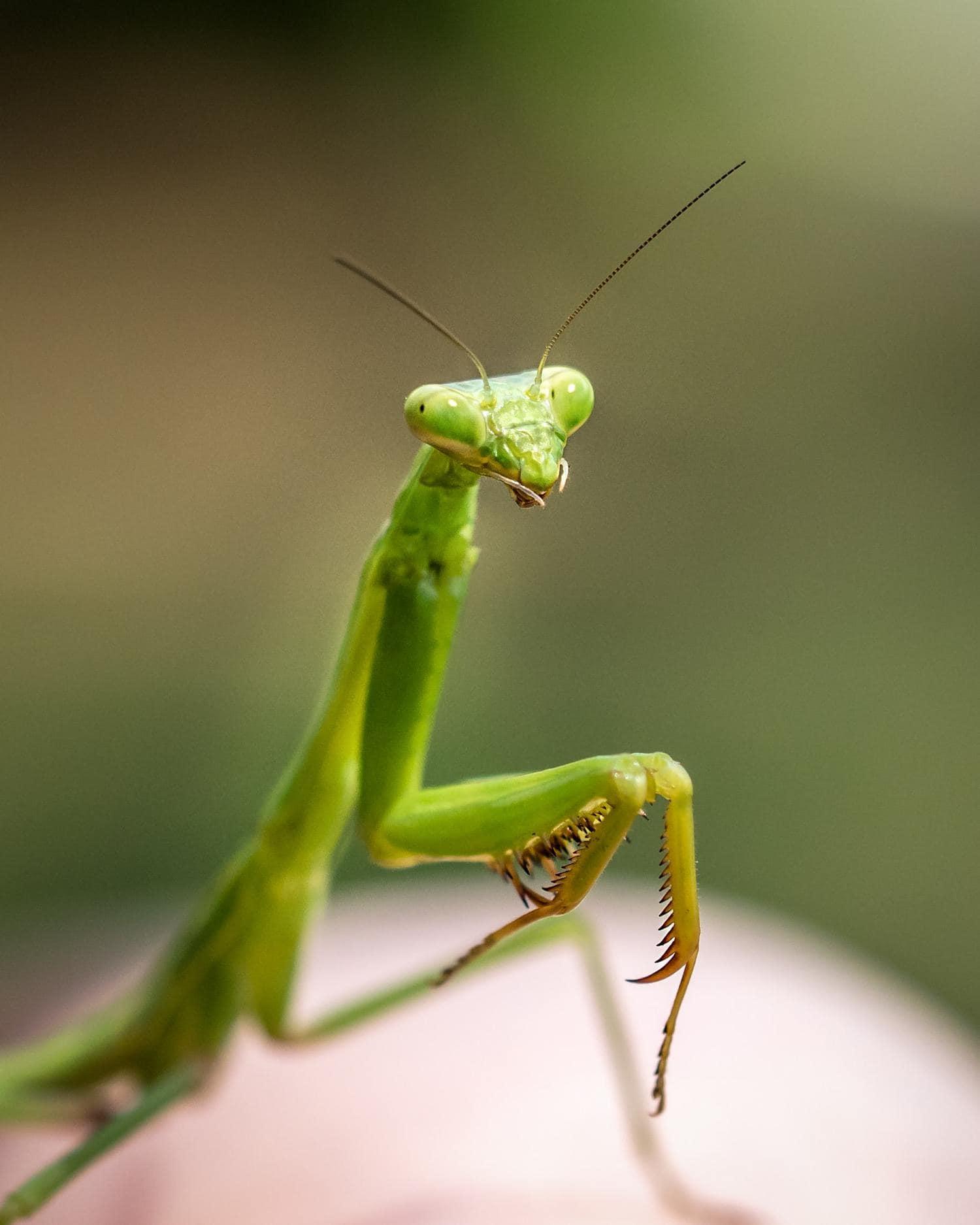mantis macro naturaleza